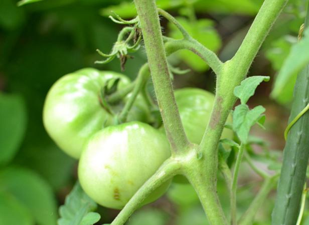 家庭菜園のトマト